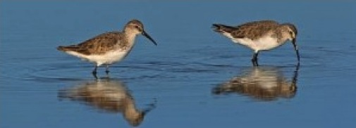 2 little sandpipers