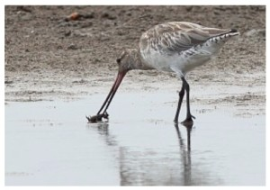 bar-tail-godwit