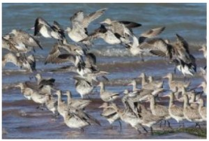 bar-tailed-godwits