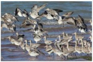 bar-tailed-godwits