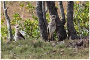 curlews-at-tree