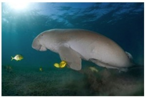 dugong-swimming