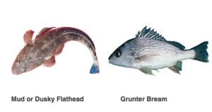 grunter-bream
